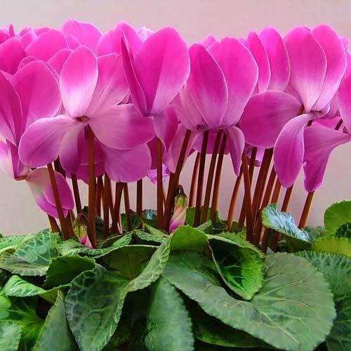Ciclamă Dama F1, roz imagine 1 articol 66794