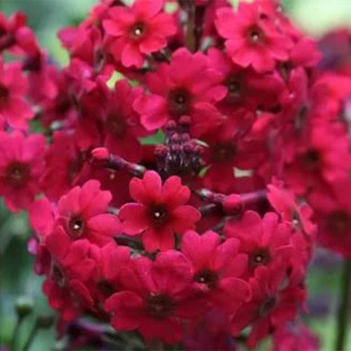 Ciuboțica cucului (Primula) japonica Miller's Crimson imagine 1 articol 01404