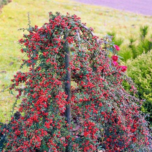 Cotoneaster Coral Beauty imagine 1 articol 9578