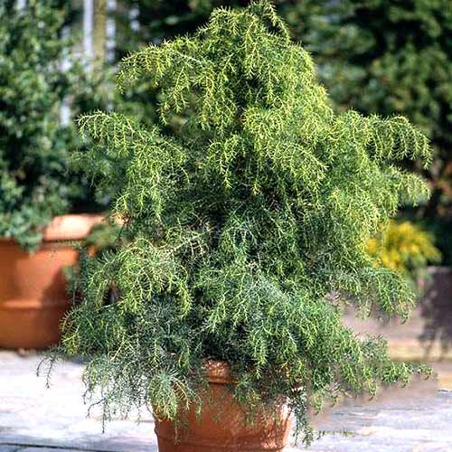 Cryptomeria Elegans Viridis imagine 1 articol 3911