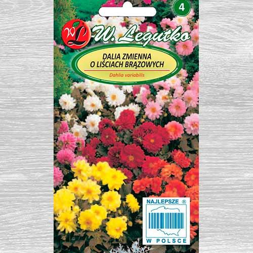 Dalii duble Diablo, mix multicolor imagine 1 articol 69579