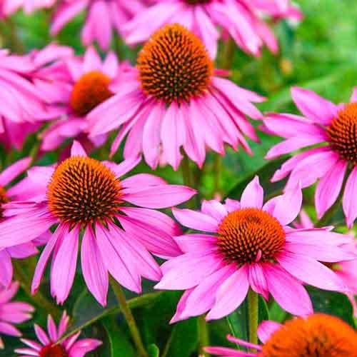 Echinacea purpurea imagine 1 articol 01427