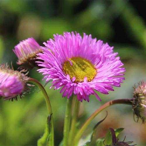 Erigeron (Bătrâniș) Rosa Juwel imagine 1 articol 01426