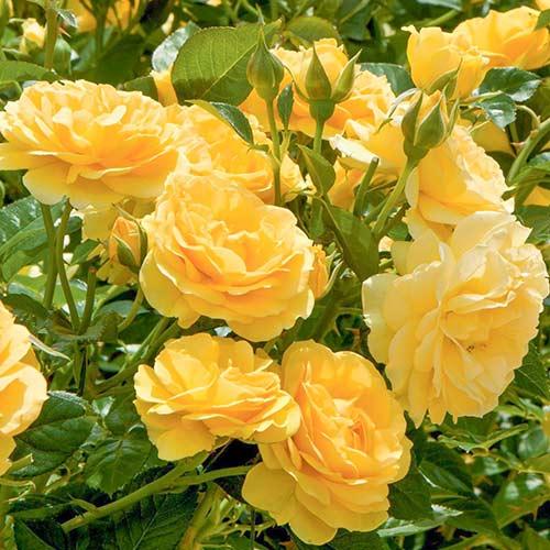 Trandafir floribunda Yellow
