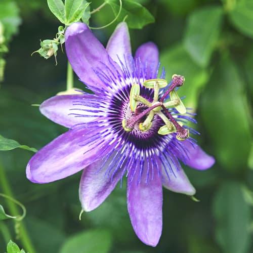 Floarea Pasiunii (Passiflora) Lavender Lady imagine 1 articol 9594