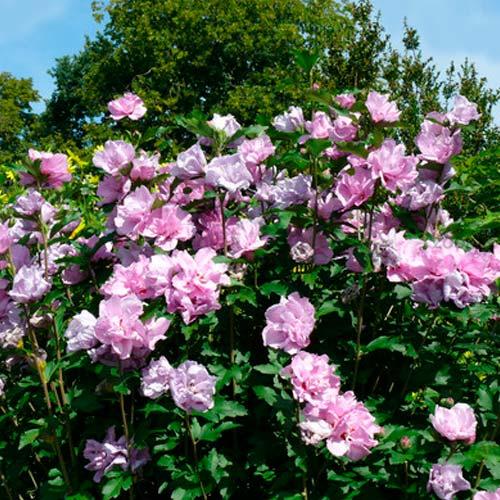 Hibiscus Ardens imagine 2 articol 9019