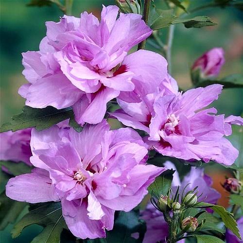 Hibiscus Ardens imagine 1 articol 9019