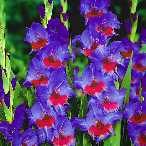 Gladiole grandiflora Red Baron imagine 1 articol 67011