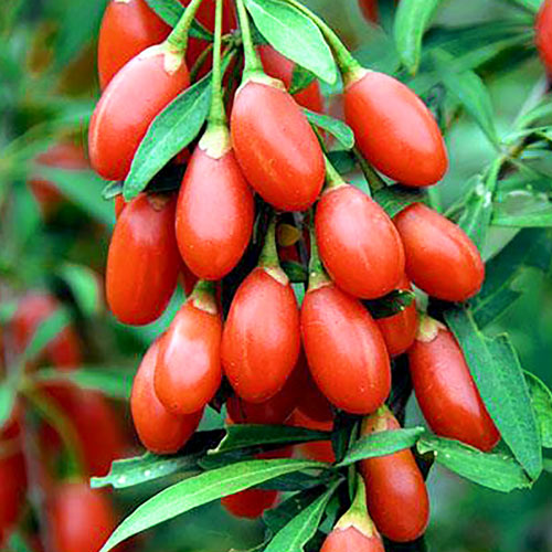 Goji Big Berry