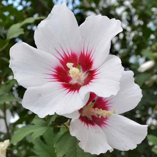 Hibiscus Shintaeyang imagine 1 articol 4048