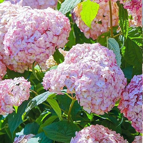 Hortensia arborescens Candybelle Bubblegum imagine 1 articol 3991