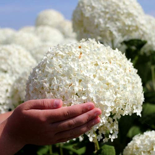 Hortensia arborescens Annabelle imagine 1 articol 9025