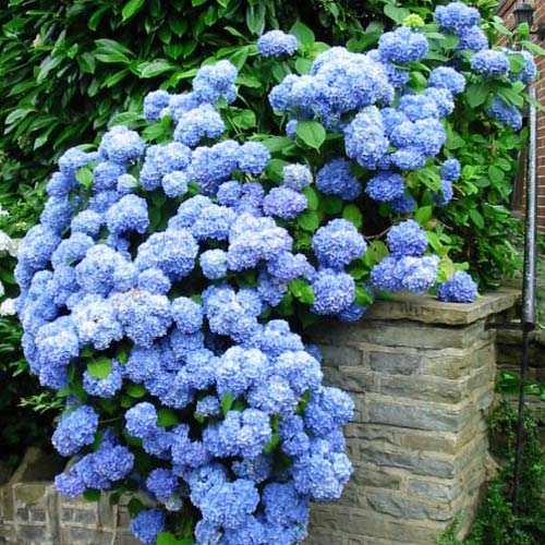 Hortensia macrophylla Nikko Blue imagine 2 articol 9031