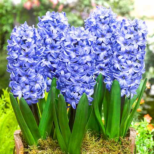 Zambile Delft Blue imagine 1 articol 67359