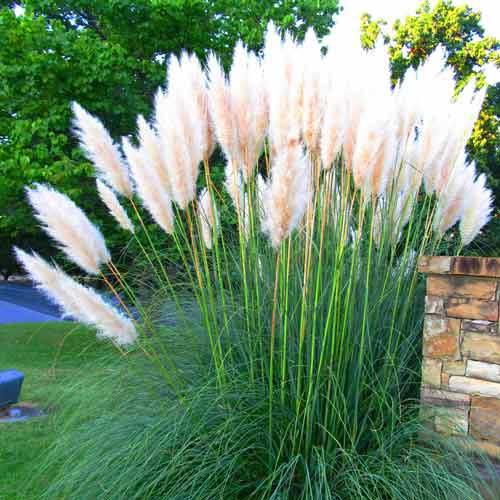 Iarbă de pampas albă imagine 1 articol 9065