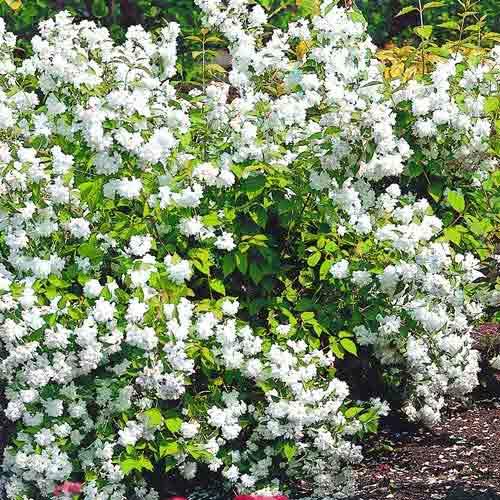 Iasomie Bouquet Blanc imagine 1 articol 9106
