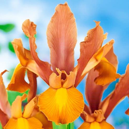 Iris olandez Bronze Beauty imagine 1 articol 67145