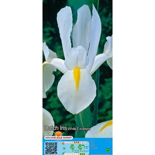 Iris olandez White imagine 1 articol 68126