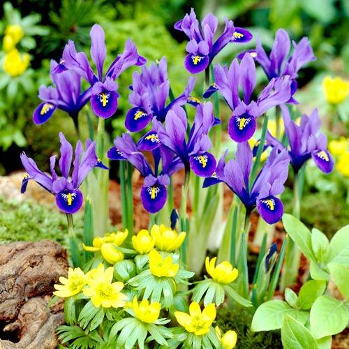 Iris reticulata Harmony imagine 1 articol 67381