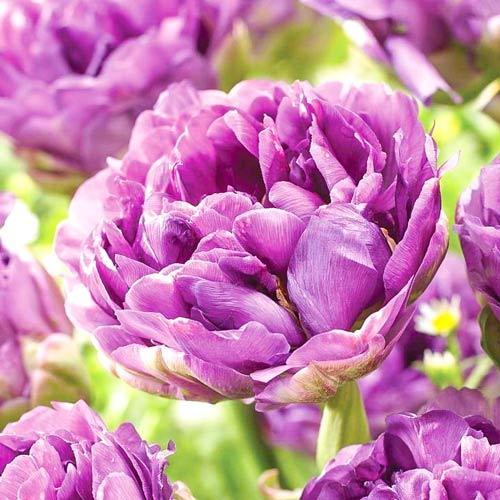 Lalele double Lilac Perfection imagine 1 articol 67460