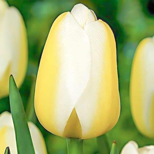 Lalele Le Crin Blanc imagine 1 articol 70302