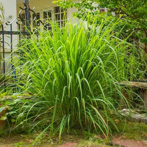 Iarbă de lămâie (Lemongrass) imagine 2 articol 69547
