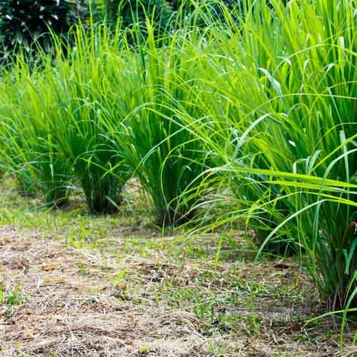 Iarbă de lămâie (Lemongrass) imagine 3 articol 69547