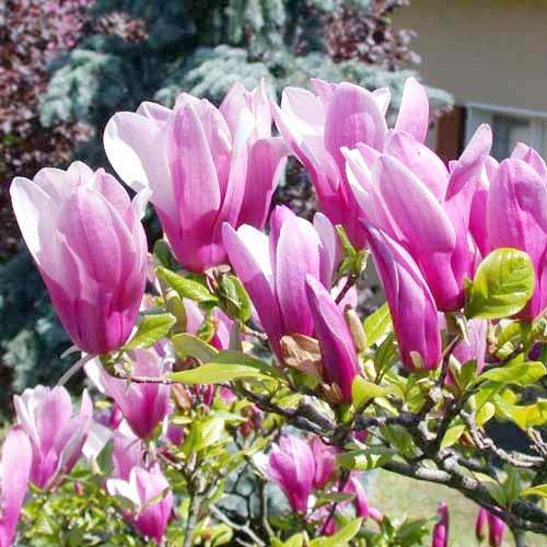 Magnolia Susan imagine 1 articol 9075