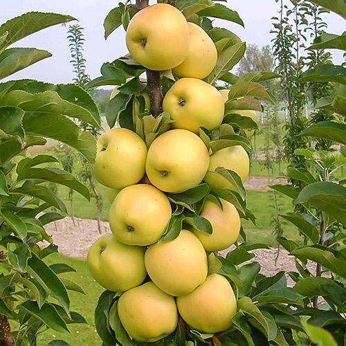 Măr columnar Bolero
