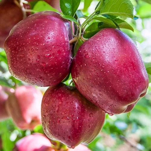 Măr Red Shar