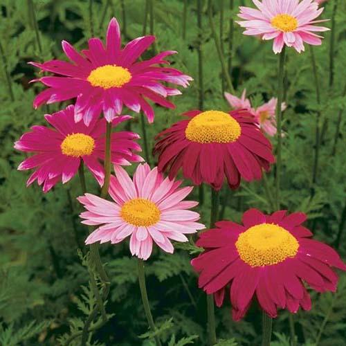 Margaretă roz imagine 1 articol 01420