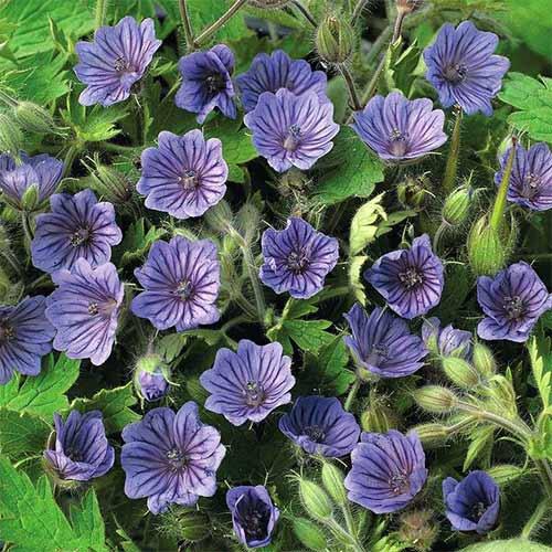 Mușcată englezească (Geranium) Kashmir Blue imagine 1 articol 01328