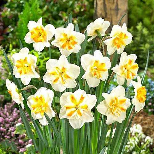 Narcise Sorbet
