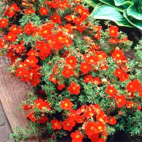 Potentilla fruticosa Red Ace imagine 1 articol 9074