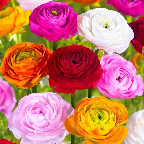 Ranunculus mix multicolor