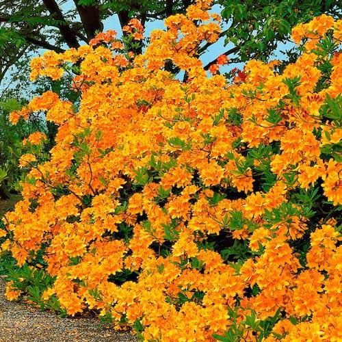 Rhododendron Auriu imagine 2 articol 2546