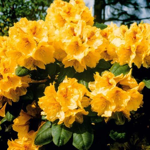 Rhododendron Auriu imagine 1 articol 2546