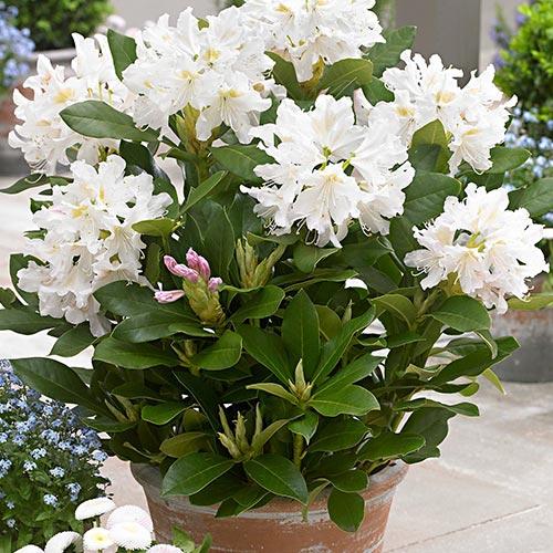 Rhododendron Cunningham White imagine 2 articol 9088