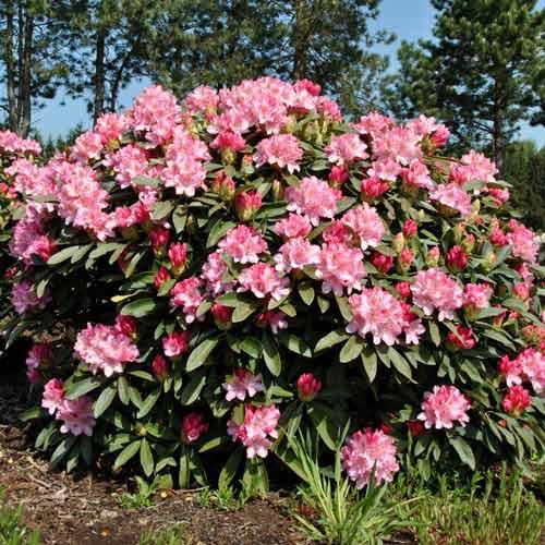 Rhododendron Fantasy