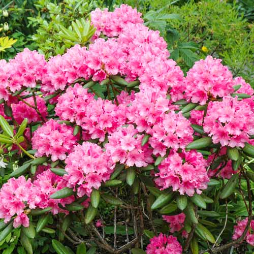 Rhododendron Hania