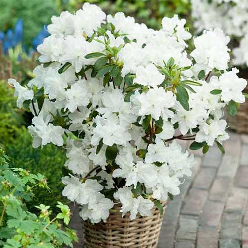 Rhododendron Mary Helen imagine 1 articol 3929
