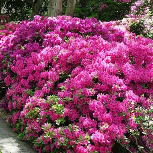 Rhododendron Anouk imagine 1 articol 2599