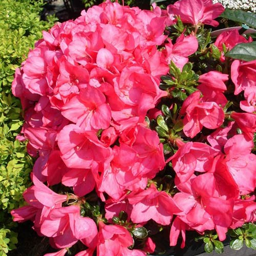 Rhododendron Anouk imagine 2 articol 2599