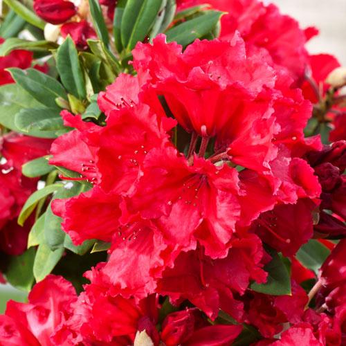 Rhododendron Red Jack imagine 2 articol 2404