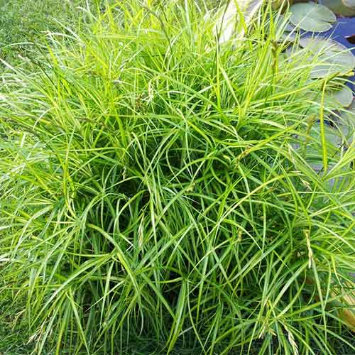 Rogoz (Carex) imagine 1 articol 01389