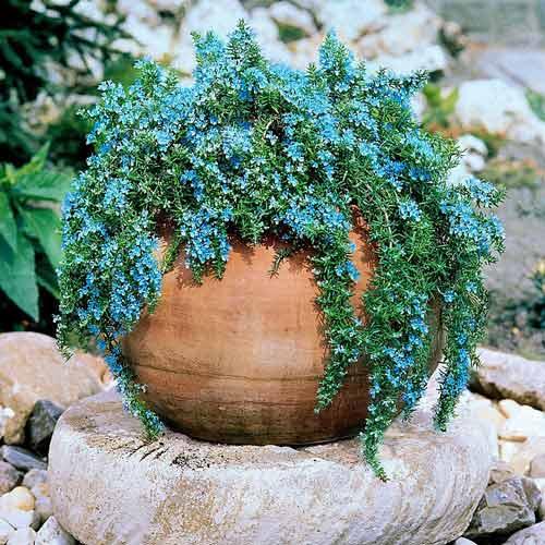 Rozmarin Corsican Blue imagine 1 articol 68754