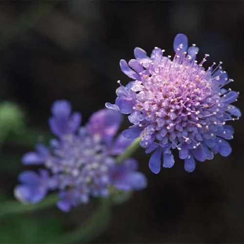 Scabiosa Butterfly Blue imagine 1 articol 01413