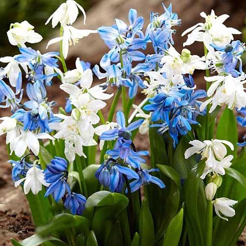 Scilla Spring Beauty imagine 1 articol 67676