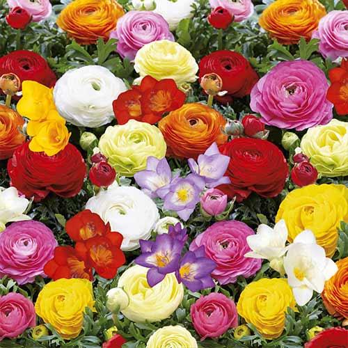 Super ofertă! Frezie și Ranunculus Butterfly Beauty mix multicolor imagine 1 articol 68124
