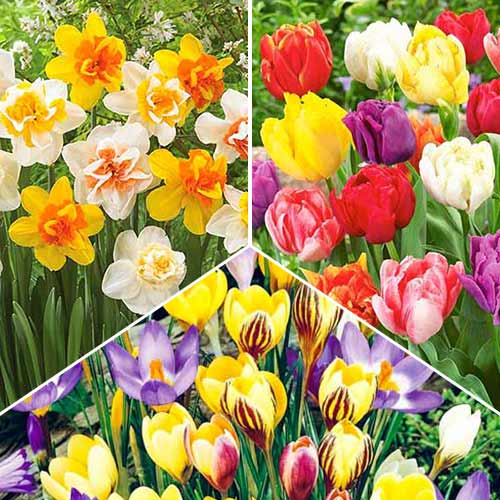 Super ofertă! Bulbi de flori Cottage Garden, set de 3 soiuri imagine 1 articol 70319